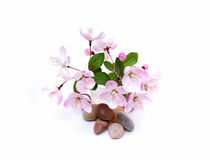 Blooming peach blossom and stones in spring isolated on white Royalty Free Stock Photo