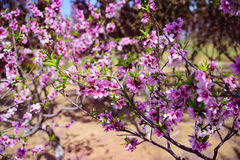Blooming peach blossoms in spring. The blooming peach blossoms are especially beautiful in spring Royalty Free Stock Image