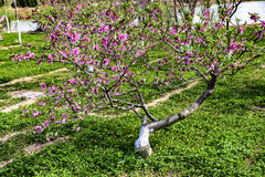 Blooming peach blossoms in spring. In spring, a peach tree is very beautiful when it blooms Royalty Free Stock Images