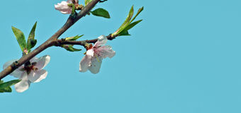 Blooming peach branch Stock Images