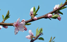 Blooming peach branch Royalty Free Stock Photo