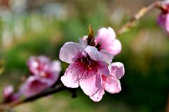 Blooming peach. Branch close-up royalty free stock images