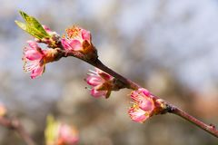 Blooming peach branch at spring. Detail of pink flowering peach tree in garden, blurred background Royalty Free Stock Photos