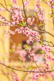 Blooming Peach cherry trees with yellow colonial window backgrou stock photos