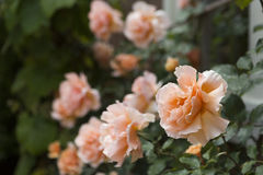 Blooming peach colored roses Stock Photos