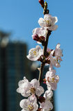 Blooming peach flower Royalty Free Stock Photos