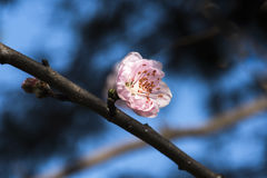 Blooming peach flower. In spring Royalty Free Stock Photography