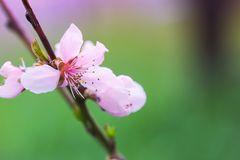 Blooming peach flower in spring time close up view stock photo