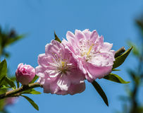 Blooming peach flower Royalty Free Stock Image
