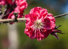 Blooming peach flower Stock Image