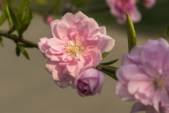 Blooming peach flower. Under the sunshine Stock Photo