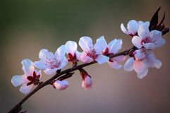 Peach flowers. Blooming peach flowers in spring royalty free stock photo