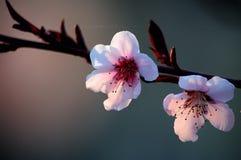 Peach flowers. Blooming peach flowers in spring stock photo