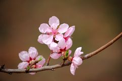 Peach flowers. Blooming peach flowers in spring royalty free stock photography