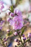 Blooming peach flowers Royalty Free Stock Photos