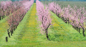 Blooming peach orchard Royalty Free Stock Image