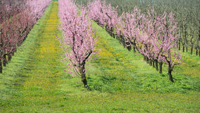 Blooming peach orchard. In spring Stock Photos