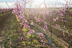 Blooming peach orchard. In spring Royalty Free Stock Photos