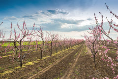 Blooming peach orchard Stock Images