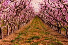 Blooming Peach Orchards in Palisades CO stock photos