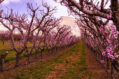 Blooming Peach Orchards in Palisades CO. Rows of blooming peach trees in peach orchard in full spring bloom Royalty Free Stock Image