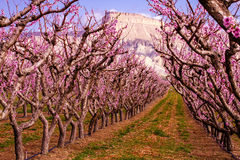 Blooming Peach Orchards in Palisades CO. Rows of blooming peach trees in peach orchard in full spring bloom Royalty Free Stock Photography