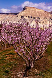 Blooming Peach Orchards in Palisades CO. Rows of blooming peach trees in peach orchard in full spring bloom Royalty Free Stock Images