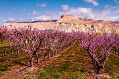 Blooming Peach Orchards in Palisades CO. Rows of blooming peach trees in peach orchard in full spring bloom Stock Photo