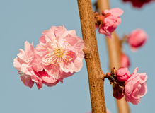 Blooming peach pink flower Royalty Free Stock Photography