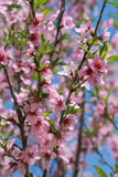 Blooming peach, selective focus Royalty Free Stock Photos