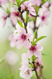 Blooming Peach tree Stock Photos