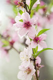 Blooming Peach tree Royalty Free Stock Image