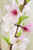 Blooming Peach tree Royalty Free Stock Photography