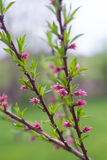 Blooming Peach Tree Branches. Blooming peach fruit tree branches in the spring Royalty Free Stock Photo