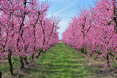Blooming peach tree Stock Photography