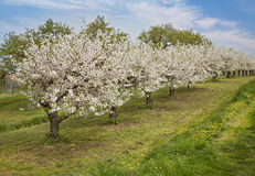 Blooming peach trees. In a spring orchard Royalty Free Stock Photography