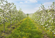 Blooming peach trees. In a spring orchard Royalty Free Stock Images