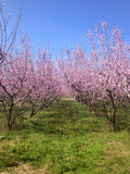 Blooming peach trees in spring Royalty Free Stock Photos