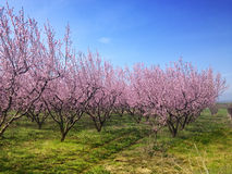 Blooming peach trees in spring Royalty Free Stock Image