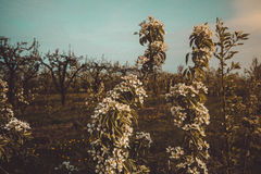 Blooming Peach trees. Young pear trees during blooming season, Poland stock photography