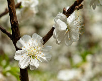 Blooming peach white flower under the sunshine Royalty Free Stock Photos