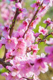 Blooming peaches pink flowers macro. Flowering peaches pink flowers macro close up Stock Image