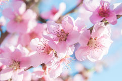Blooming peaches pink flowers macro. Flowering peaches pink flowers macro close up Stock Photos