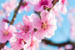 Blooming peaches pink flowers macro. Flowering peaches pink flowers macro close up Royalty Free Stock Photo