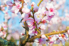 Blooming peaches pink flowers macro. Flowering peaches pink flowers macro close up Stock Photography
