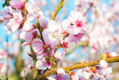 Blooming peaches pink flowers macro. Flowering peaches pink flowers macro close up Royalty Free Stock Photos
