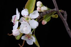 Blooming pear blossoms royalty free stock photo