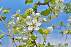 Blooming pear 14 Royalty Free Stock Image