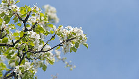 Blooming of pear branch Royalty Free Stock Image