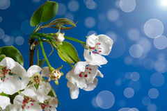 Blooming pear Stock Images